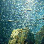 【泳がせ釣りの疑問】アオリイカの活きエサは、アジ以外の魚ではだめですか?